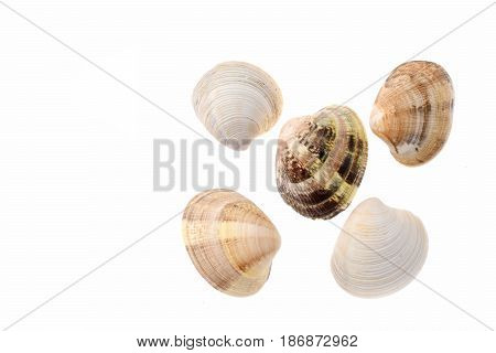 Clam Mollusk Shell Isolated On White