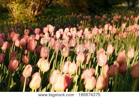 Tulips Illuminated By The Setting Sun. Beautiful View Of Color Tulips