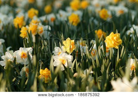 Narcissus, Lit By The Setting Sun
