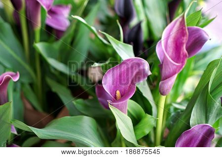 Beautiful calla flowers in shop, closeup