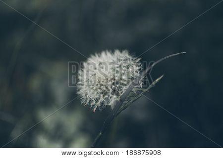 Lion teeth flower background. Taraxacum, dens leonis. Wildflower background in vintage style. Vintage flowers. Close up view of lion teeth flower.