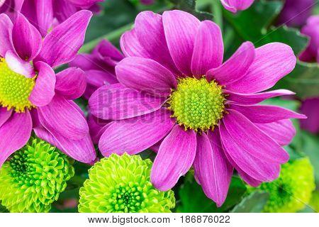Purple Chrysanthemums, Fresh Florist Flowers. Close Up.