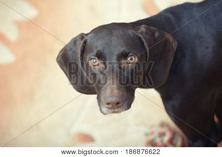 German short haired pointer known as Kurzkhaar sitting indoors