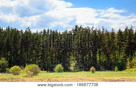 Beautiful coniferous forest with tall pine trees under a blue expressive sky with clouds no one around clean ecology beautiful and unforgettable nice weather bright day