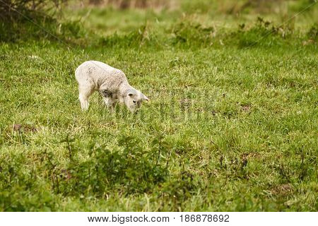 Young white sheep on a meadow in summer