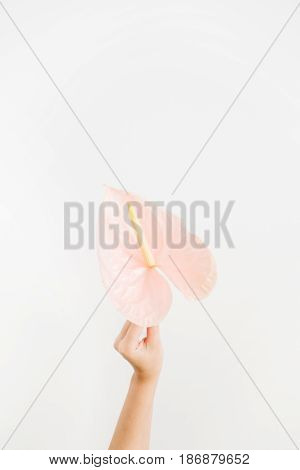 Beautiful pink anthurium flower in girl's hand isolated on white background. Flat lay top view. Floral composition