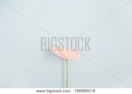 Beautiful pink anthurium flower isolated on pale pastel blue background. Flat lay top view. Floral composition