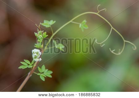 Climbing corydalis (Ceratocapnos claviculata) tendrils. White flowers on plant in the poppy family (Papaveraceae) growing in British woodland