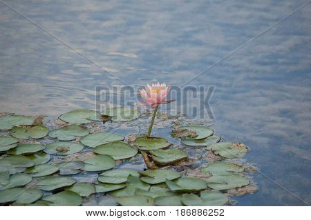 Water Lily, pond scape, lily pond, pink flower