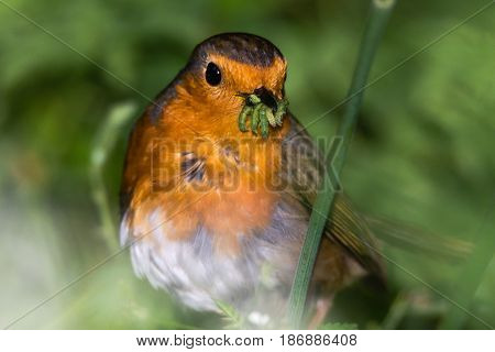 Robin (Erithacus rubecula) with beak full of caterpillars. Favourite garden bird in the family Turdidae successfully collecting food for chicks in springtime