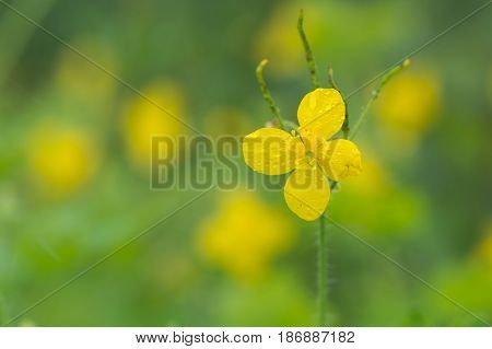 Greater celandine (Chelidonium majus) single flower. Bright yellow flower of plant in the poppy family Papaveraceae with seed pods