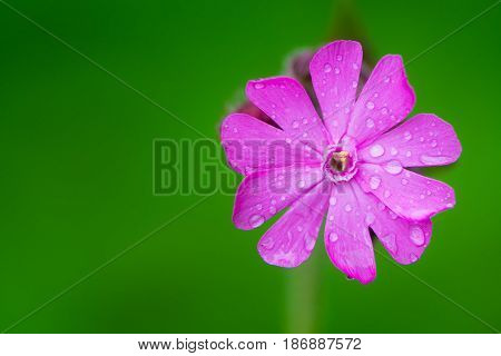 Red campion (Silene dioica) single flower. A delicate flower in the family Caryophyllaceae with water droplets on pink petals