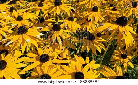 Many black-eyed Susan flowers growing in late summer sun