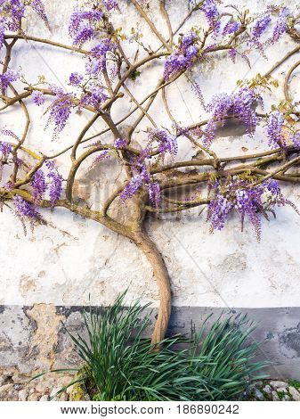Purple wisteria plant growing in Obidos, Portugal.