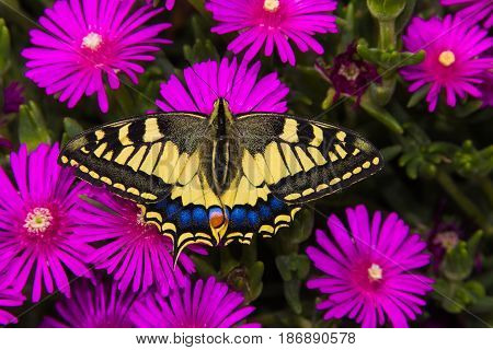 Beautiful papilio machaon butterfly posing on the carpobrotus edulis flowers