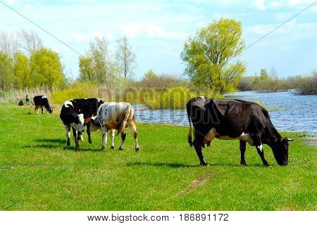 Cows graze in the meadow next to the river