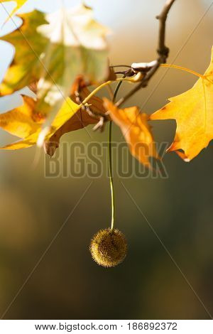 Autumn leaf leaves branch plane tree platanus plane tree fruit