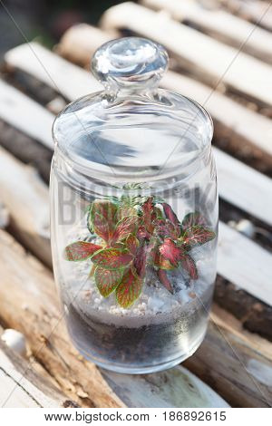 Colorful Fittonia plants growing in a glass jar