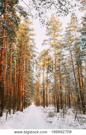Winter Snowy Coniferous Forest. Snowy Path, Road, Way Or Pathway In Winter Forest