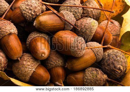 Nature autumn acorns oak pile brown oak leaves