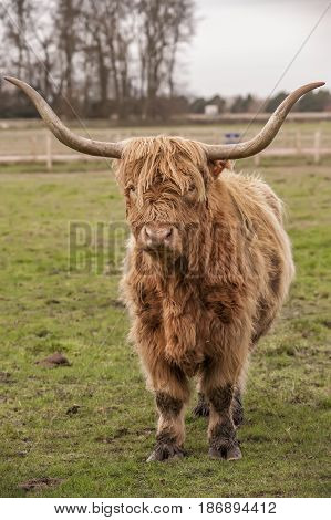 Highland Cow In A Field