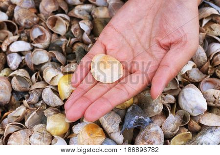 A woman holding an orange jingle shell or mermaid toenail seashells over a blurred seashell background on a connecticut beach.