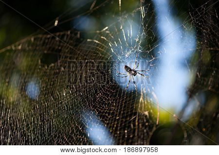 Orb weaver spider resting on its web