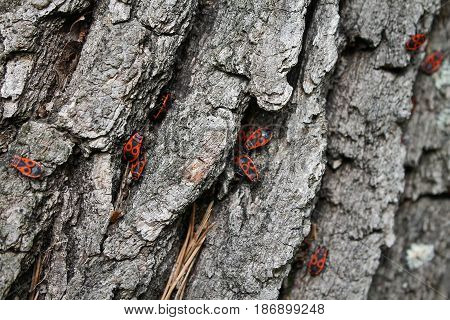 A group of red bugs on a gray bark