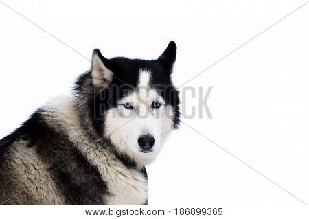 Portrait of Siberian Husky isolated. Looking dogs with blue eyes. The dog is hardy North.