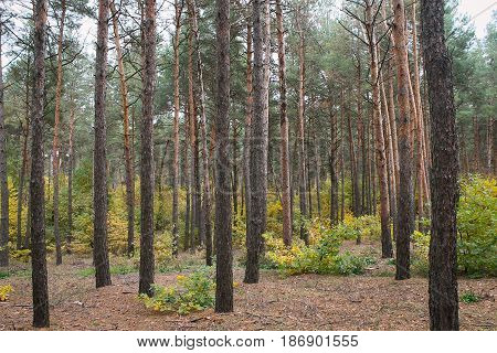 An autumnal coniferous forest mixed with shrubs