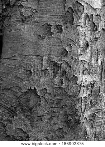 sycamore bark on mature woodland tree rough texture in grey