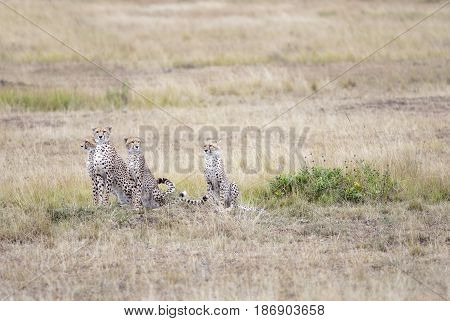 family of cheetahs considering a victim in the African savanna Kenya