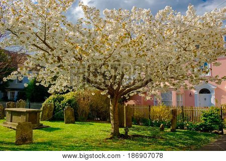 Cherry tree in bloom in a churchyard of Rye a medieval coastal town of East Sussex, England