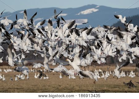 Snow Geese on their annual migration to Skagit Valley, WA.