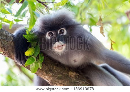 Portrait of a wild dusky leaf monkey, Trachypithecus Obscurus, staring at the camera, Thailand