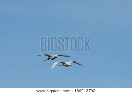 Trumpeter swans on their annual migration to Skagit Valley, WA