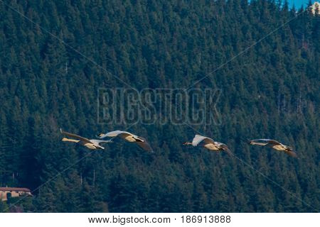 Trumpeter swans in front of foot hills, Skagit Valley, Washington State