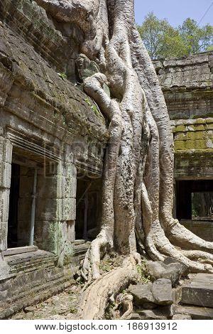 Spung tree in Ta Prohm Temple Cambodia.