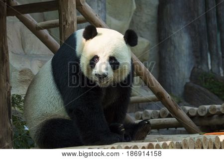 Image of a panda on nature background. Wild Animals.