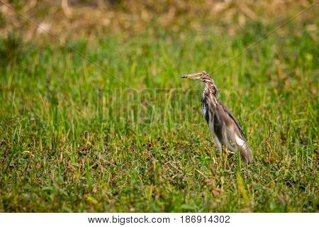 Image of Chinese Pond Heron (Ardeola bacchus) on green grass field. Bird