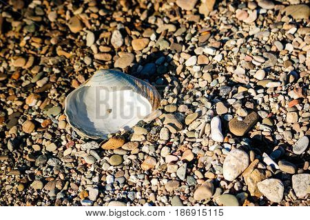 Clam shell in pebbles at beach California