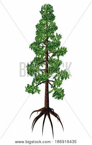 Wollemia nobilis Tree 3d illustration - Wollemia was thought to be an extinct coniferous tree but was found to be living in Australia in 1994.