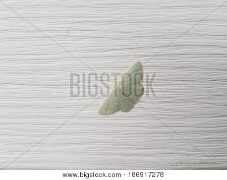 small green moth on white house siding