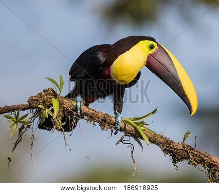 Chestnut-mandibled Toucan perched on a branch in Costa Rica