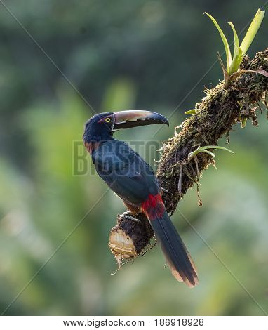 Aracari perched on a tree branch in Costa Rica