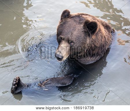 A grizzly bear taking a bath in a small pond.
