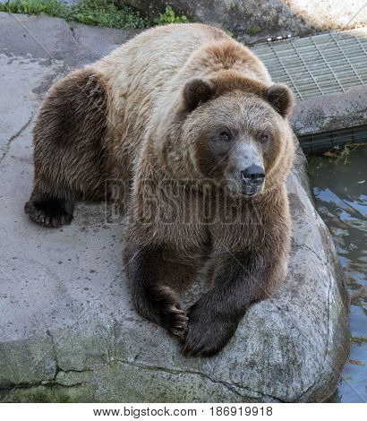 A grizzly bear lounging in the shade on a warm day.