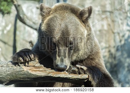 A grizzly bear sniffing for peanut butter placed on a log.