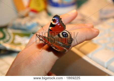 Butterfly On A Finger.
