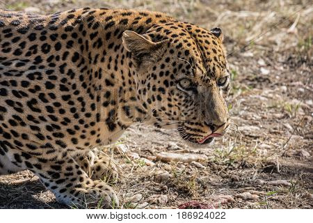 African spotted leopard resting after feeding. Large predator in the wild savannah. Travel to Namibia. The concept of exotic and extreme tourism